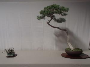 Best Theme Tree - June Nguy - California Juniper