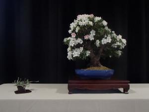 Best of Show - Louis Camerata - Satsuki  Azalea